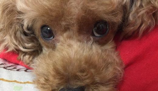 獣医師が犬の初心者にトイプードルをおすすめしたい10の理由